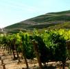 Viticultura-P1160678