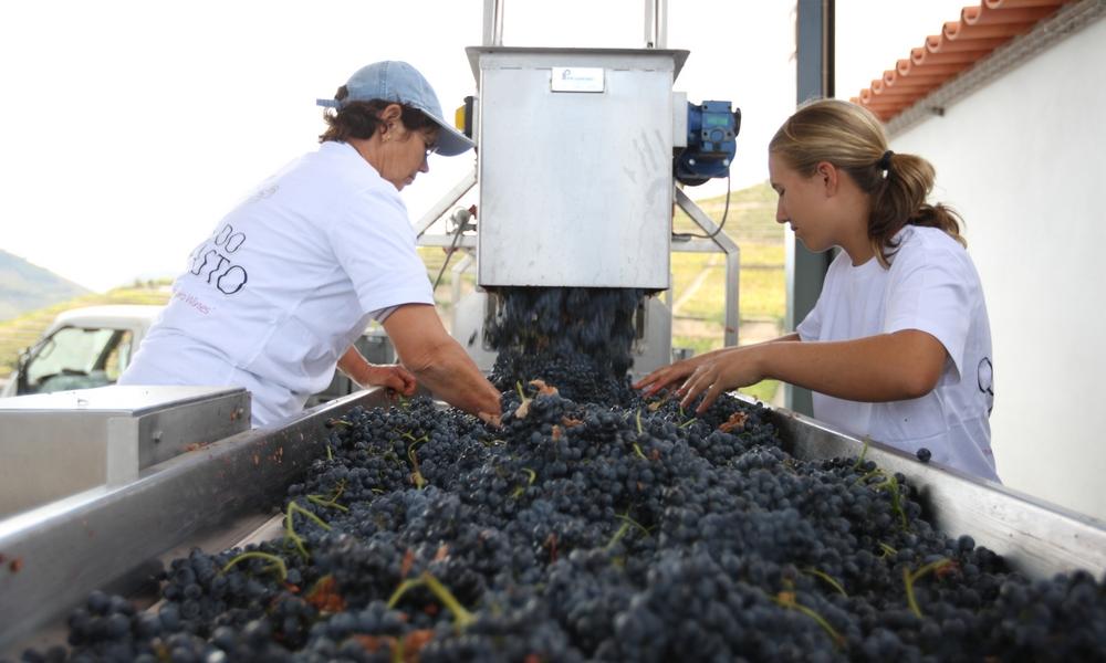 Vindima-colheita de uvas-Grape_Reception_02